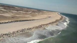 Tysiące fok plażowały na Cape Cod
