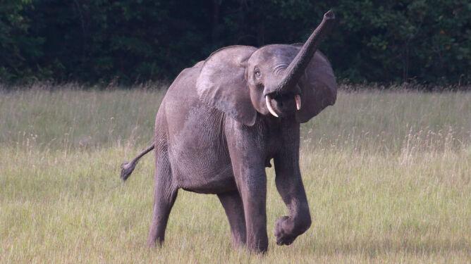 Słoń stratował dwoje turystów z Europy