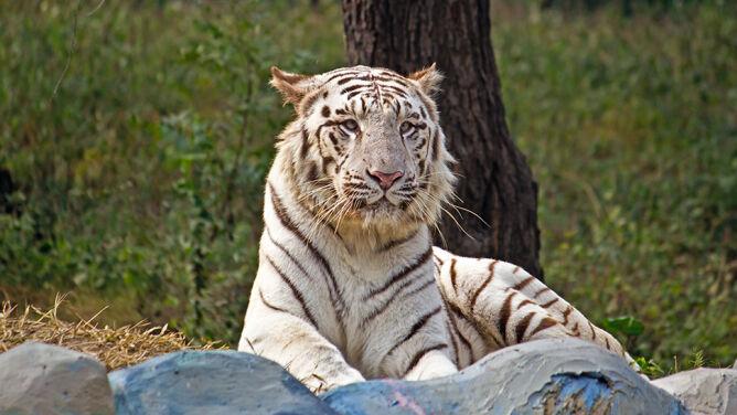 Klatki dla ludzi na wybiegu tygrysów. <br />Mają zapewnić bezpieczeństwo