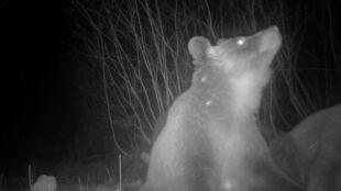 Jest za ciepło. Niedźwiedzie w polskich lasach nie mogą spać